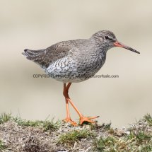 Common Redshank (5)