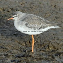Common Redshank (4)