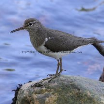 Common Sandpiper (3)
