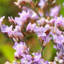 Common Sea Lavender (Limonium vulgare) (1)