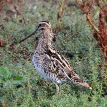 Common Snipe (6)