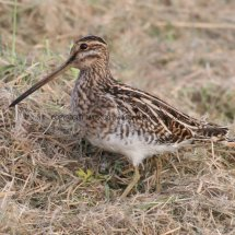 Common Snipe (2)