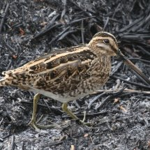 Common Snipe (3)