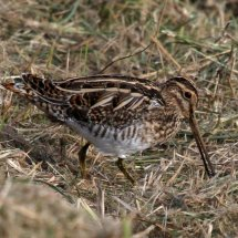 Common Snipe (4)