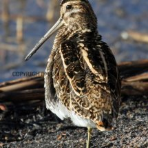 Common Snipe (5)