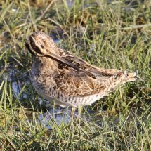 Common Snipe 1 (12)