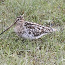 Common Snipe 1 (22)
