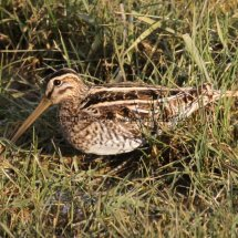 Common Snipe 1 (2)