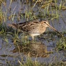 Common Snipe 1 (4)