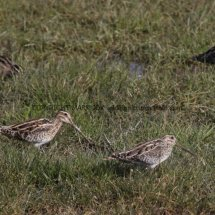 Common Snipe 1 (6)