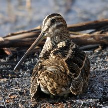 Common Snipe (9)