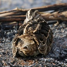 Common Snipe (10)