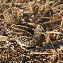 Common Snipe (11)