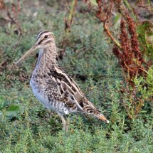 Common Snipe (1)