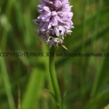 Common Spotted Orchid (1)