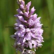 Common Spotted Orchid (2)