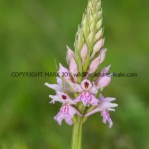 Common Spotted Orchid Dactylorhiza fuchsii 19.5.17 (1)