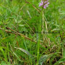 Common Spotted Orchid Dactylorhiza fuchsii 19.5.17 (3)