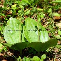Common Twayblade (Neottia ovata) 29.4.2017 (1)