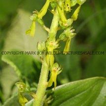 Common Twayblade (Neottia ovata) 29.4.2017 (2)