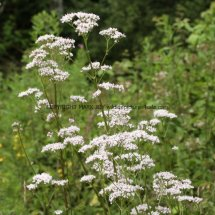 Common Valerian (1)