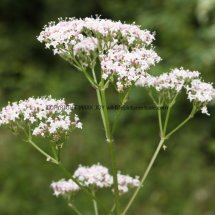 Common Valerian (3)
