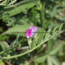 Common Vetch (Vicia sativa) (2)