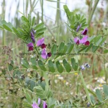 Common Vetch (Vicia sativa) (1)