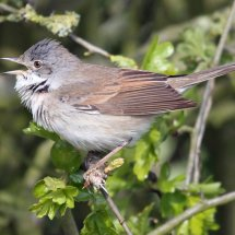 Common Whitethroat (3)