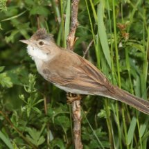 Common Whitethroat (4)
