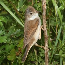 Common Whitethroat (5)