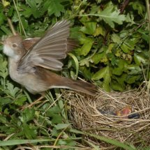 Common Whitethroat (6)
