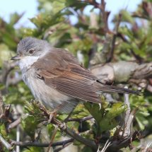 Common Whitethroat (10)