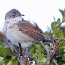 Common Whitethroat (11)