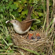 Common Whitethroat (12)