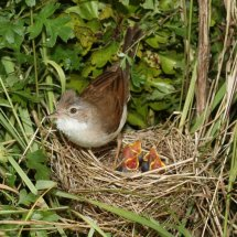 Common Whitethroat (13)