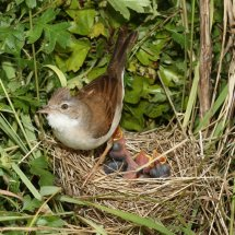 Common Whitethroat (16)