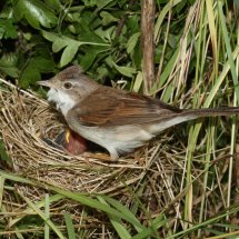 Common Whitethroat (18)