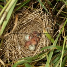 Common Whitethroat Nest (1)