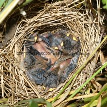 Common Whitethroat Nest (3)