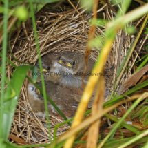 Common Whitethroat Nest (4)