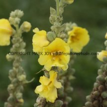 Common or Great Mullein (Verbascum thapsus) (3)