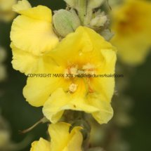Common or Great Mullein (Verbascum thapsus) (4)