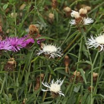 Common (or  Lesser or Black )  Knapweed (1)