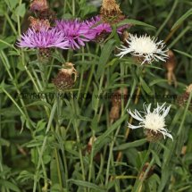 Common (or  Lesser or Black )  Knapweed (2)