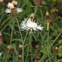 Common (or  Lesser or Black )  Knapweed (3)