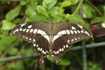 Constantine's swallowtail (Papilio constantinus) (3)