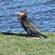 Cormorant (11)