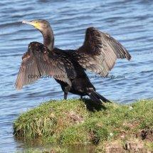 Cormorant (9)