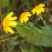 Corn Marigold (Glebionis segetum) (1)